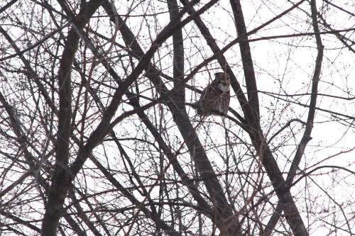 Nicki's Central West End Guide Events, Sightings For Children Forest Park  the Owlman of Forest Park Raptor Resource Project Mark Glenshaw Decorah eagles