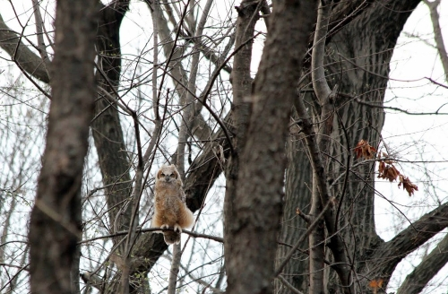 Nicki's Central West End Guide Events, Sightings Forest Park  the Owlman of Forest Park Mark Glenshaw Great Horned Owls