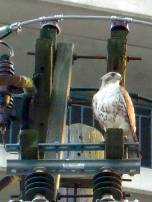 Nicki's Central West End Guide Events, Sightings Urban Gardens  red-tailed hawk