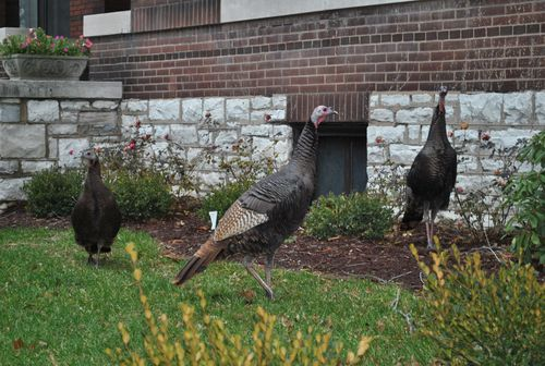 Nicki's Central West End Guide Events, Sightings For Children Urban Gardens  wild turkeys Pershing Place Martin Schweig