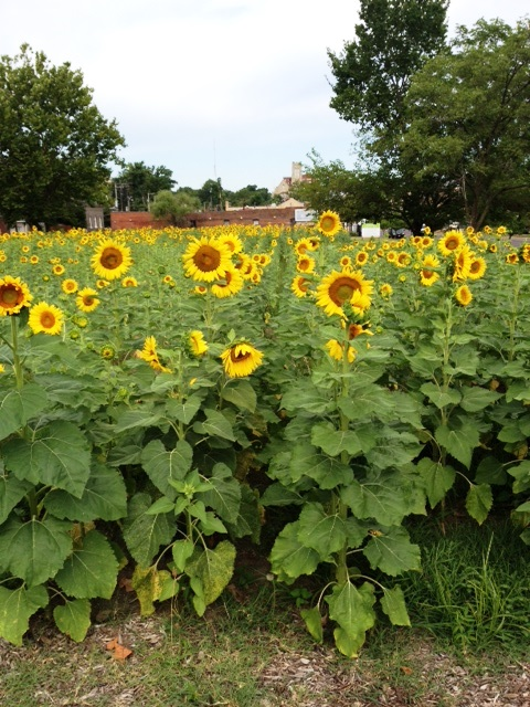 7-18-14 Sunflowers 2